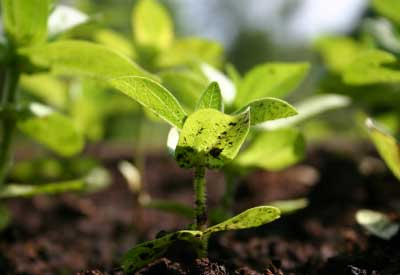 how does organic fertilizer affect the Both organic and inorganic fertilizers provide plants with the nutrients needed to grow healthy and strong however, each contains different ingredients and supplies these nutrients in different.