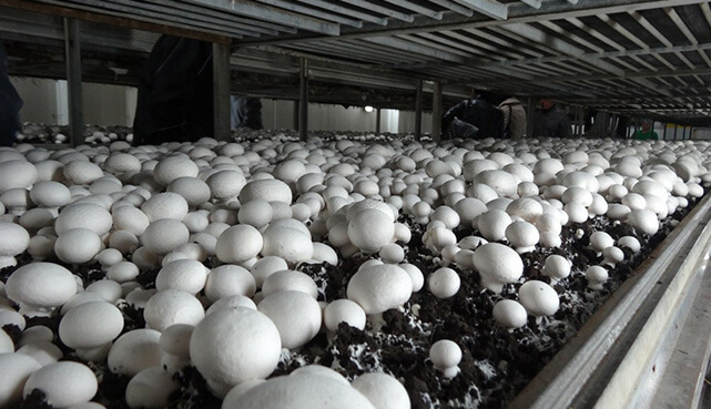 mushroom substrate compost production technology process